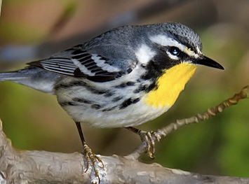 Yellow-throated Warble...